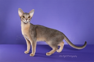 Baby, Abyssinian, owned by Sue Sims