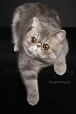 Baby, Exotic Shorthair owned by Cynthia Guerrero