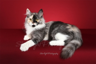 Missy, Siberian, owned by Sue Case / Tammy Ardolf