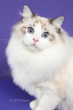 Sampson, Ragdoll, owned by Alex Marinets