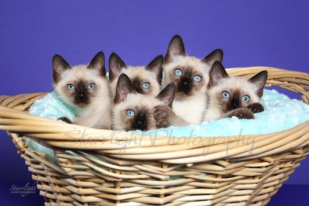 Toybob kittens